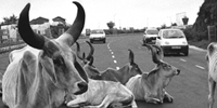 Sacred cow commune clogs Indian superhighway