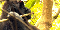 Mountain gorillas rustle through Uganda's forest