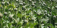 West should buy, not eradicate, Afghanistan's poppy crops