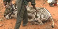 Prolonged drought devastates Kenyan people, wildlife