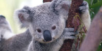 Today: Korean clash, Saudi strikes and endangered koalas
